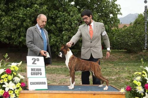 """Champion Jóven Chileno Jupiter I Del Tercer Milenio, """"Messy"""". Juez Isidro Castro (México). Handler Javier Núñez Vásquez. Ganador Mejor de Raza Jóven y colocaciones en el Grupo."""