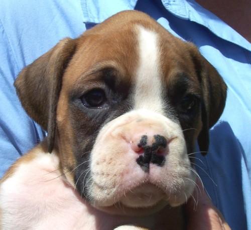 Cachorro Boxer 03