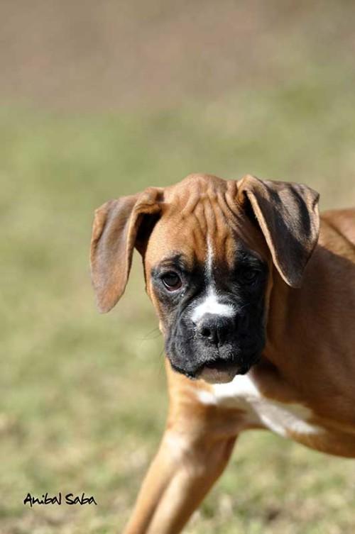Cachorro Boxer 04