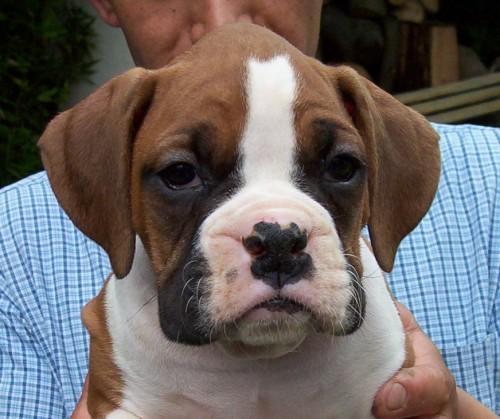 Cachorro Boxer 11