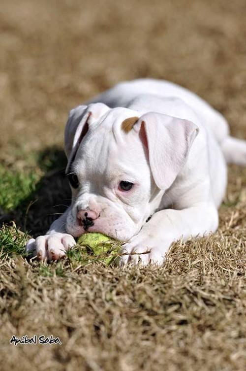 Cachorro Boxer 13