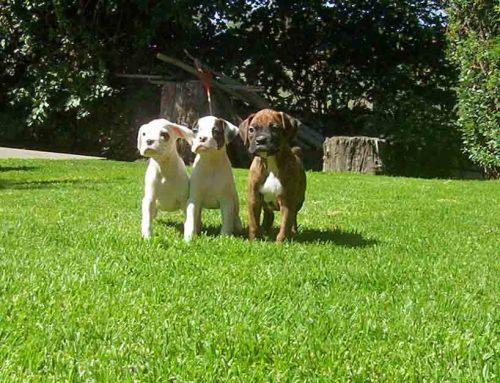 Cachorros Boxer 15