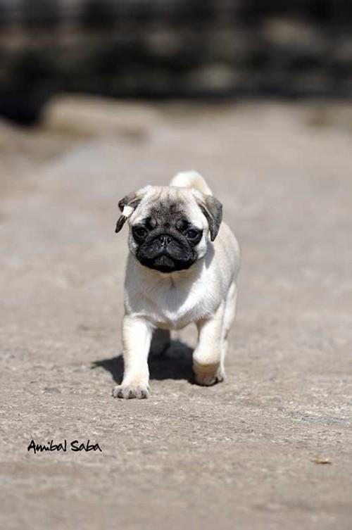 Cachorros-Pug-4