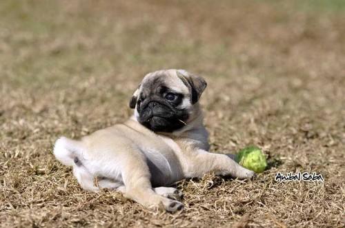 Cachorros-Pug-8